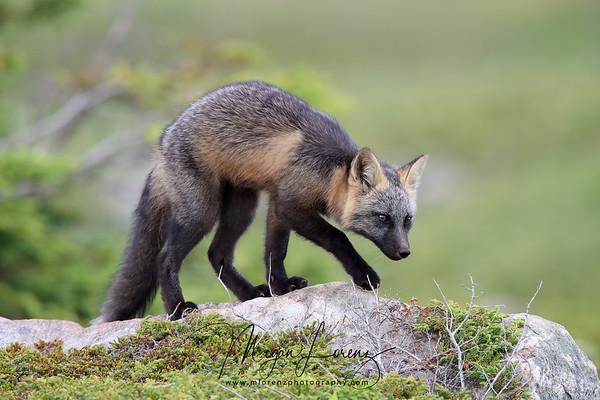 Cross Fox Kit in Newfoundland, Canada