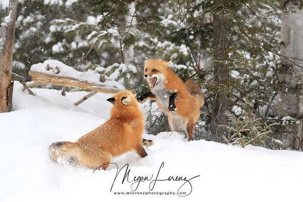 Red Fox pair interacting in Algonquin Provincial Park during a heavy snowfall.