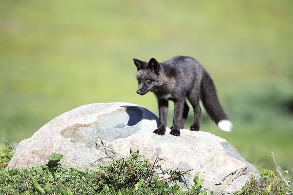 Silver Fox Kit (melanistic form of red fox Vulpes vulpes) in Newfoundland, Canada