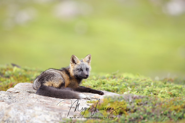 Cross Fox Kit laying on a rock in Newfoundland, Canada.