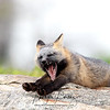 Cross Fox Kit laying on a rock and yawning in Newfoundland, Canada