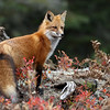 Wild Red Fox in Algonquin Provincial Park in Ontario, Canada