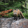 Red Fox Kit in Algonquin Provincial Park in Ontario, Canada