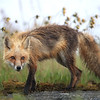 Red Fox after a thunderstorm in Newfoundland, Canada
