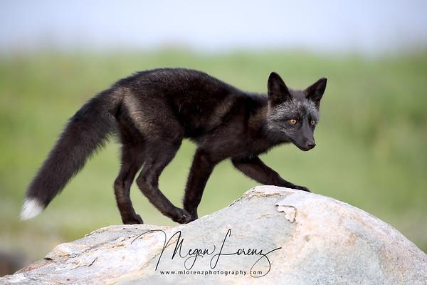 Silver Fox Kit in Newfoundland, Canada