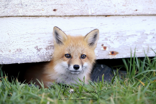 Red Fox Kit in Newfoundland, Canada