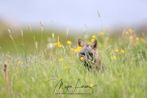 Cross Fox Kit hiding in the grass in Newfoundland, Canada