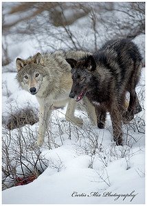 Wolves of Winter.