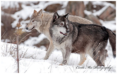 Wolves are at their peak in winter when all other animals are struggling to survive.