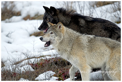 Tundra Wolves.