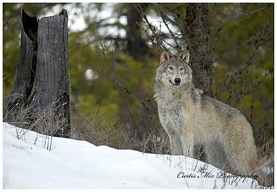 Posing Tundra Wolf.