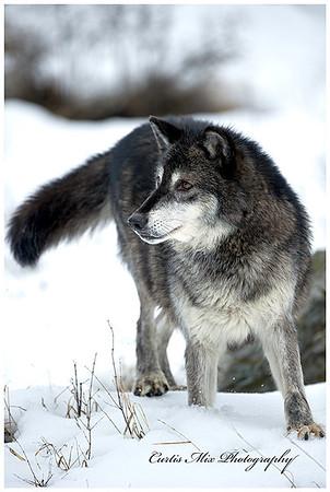 Big male Tundra Wolf.
