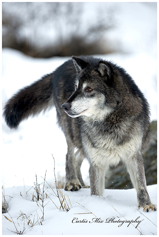 Big male Tundra Wolf.