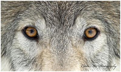 Wolves eyes.
