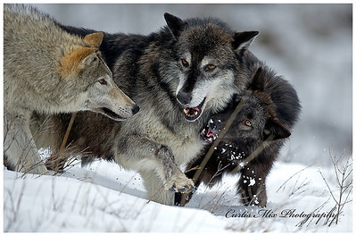 Tundra Wolves playing.