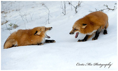 Red Foxes playing rough.