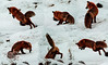 Red fox mousing composite photo, Yellowstone