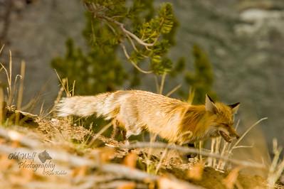 Red Fox, Wrecker, Yellowstone