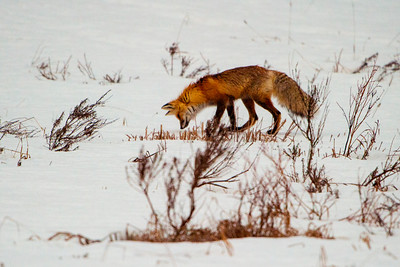 Red Fox Mousing, Pebble Creek, Yellowstone