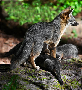 Grey_Fox  169