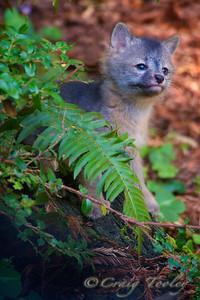 Grey_Fox  162