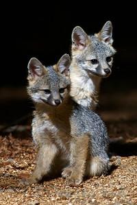 Grey_Fox  179