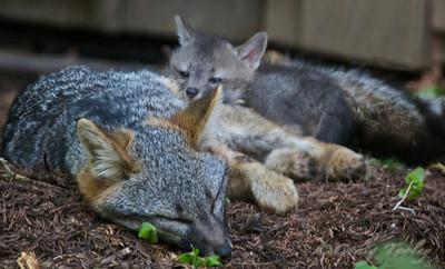 Grey_Fox  174