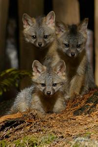 Grey_Fox  182