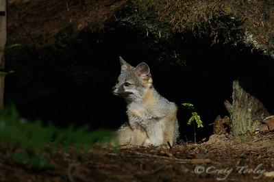 Grey_Fox  178