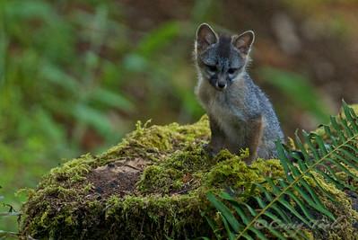 Grey_Fox  167