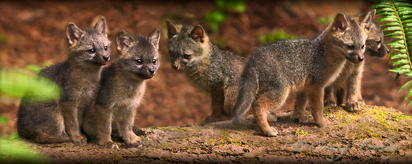 """The Boys at Play""  These Grey Fox Kits are just looking for trouble and is sized for a 8""x 20"" Panoramic size Print"