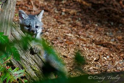 Grey_Fox  168