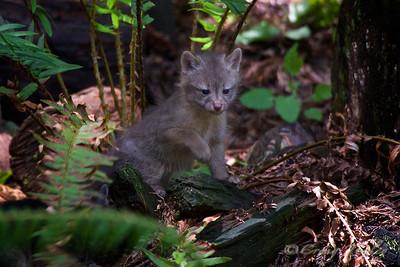 Grey_Fox  164