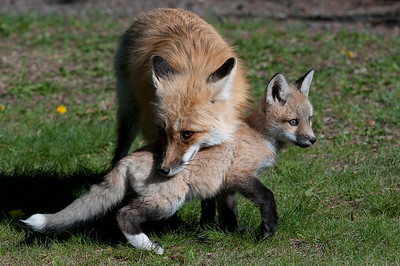 Vixen with one of six Kits