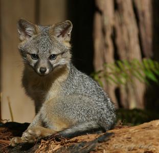 Grey_Fox  177