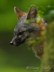 Grey_Fox  187