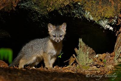 Grey_Fox  185