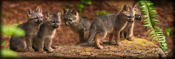 """The Boys at Play""  These Grey Fox Kits are just looking for trouble and is sized for a 10""x 30"" Panoramic size Print"