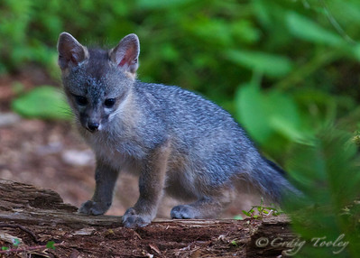 Grey_Fox  166