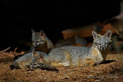 Grey_Fox  180
