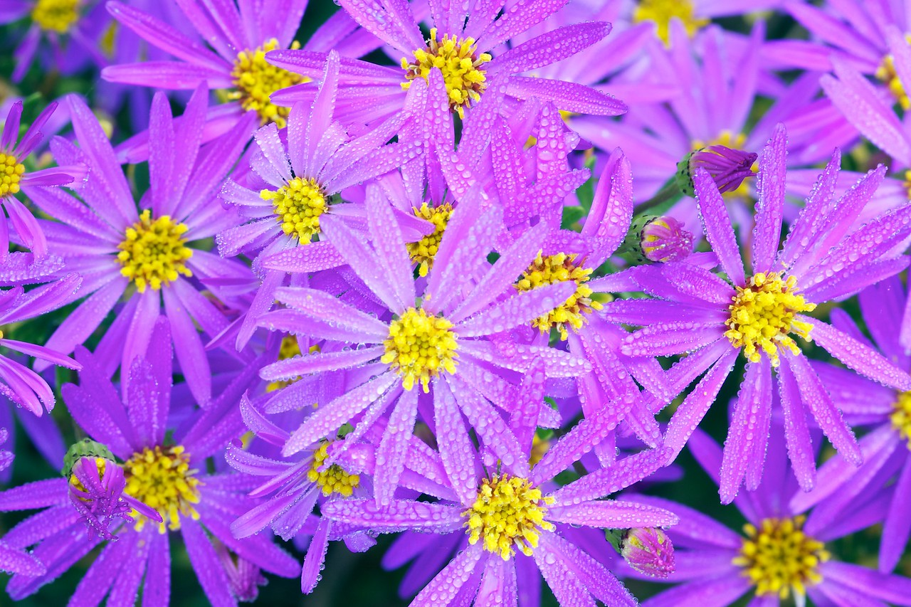 "Asters, Santa Cruz Arboretum. Chosen as one of the preloaded display images on the new 10"" Google Nexus tablet."