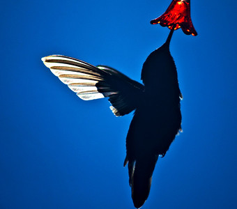 Humming Bird in the early morning with light shinning through it's wing. Shot at  a super fast shutter speed to freeze the action of the fast wing movement.