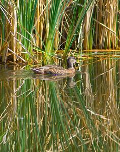 Swimming on glass a female mallard and reeds.