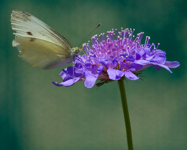 European Cabbage Butterfly on purple flower.
