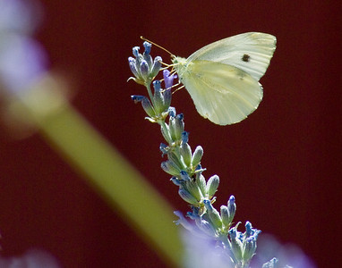 European Cabbage Butterfly on Lupin.