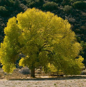 Golden Cottonwood