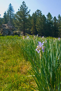 Wild iris at the top of Mt. Pinos California