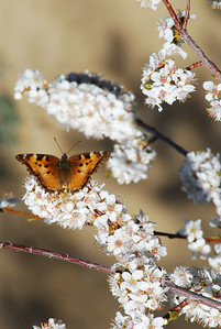 Painted Lady in spring bloom of fruitless plum tree