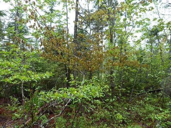 Freeze Damage on Native Trees and Ferns