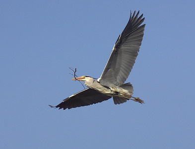 Heron carrying nesting material